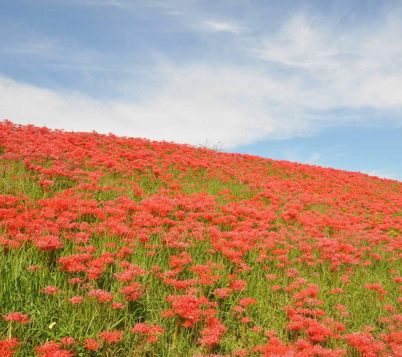 Pemandangan Bunga Garden Merah Wallpapersc Android