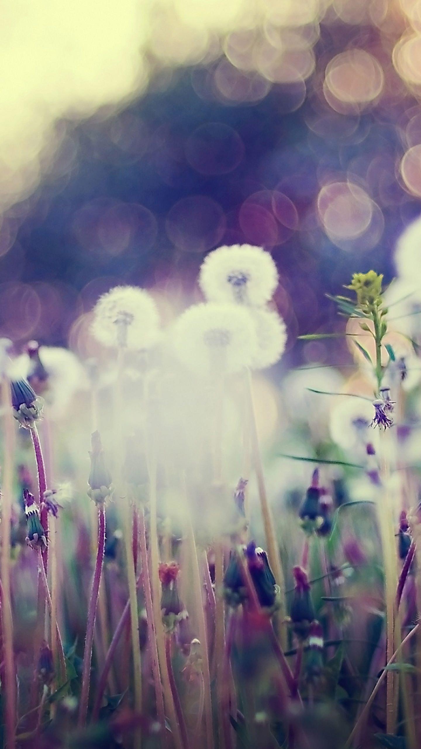 Dandelion Blur Wallpapersc Smartphone