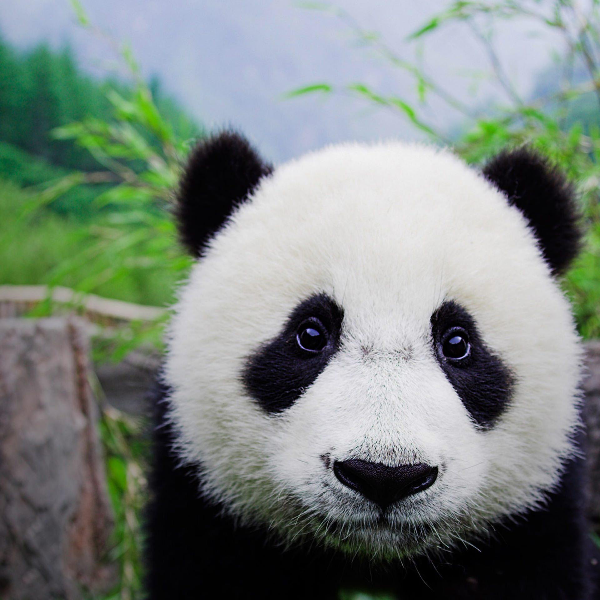 105+ Gambar Hewan Panda HD Terbaik