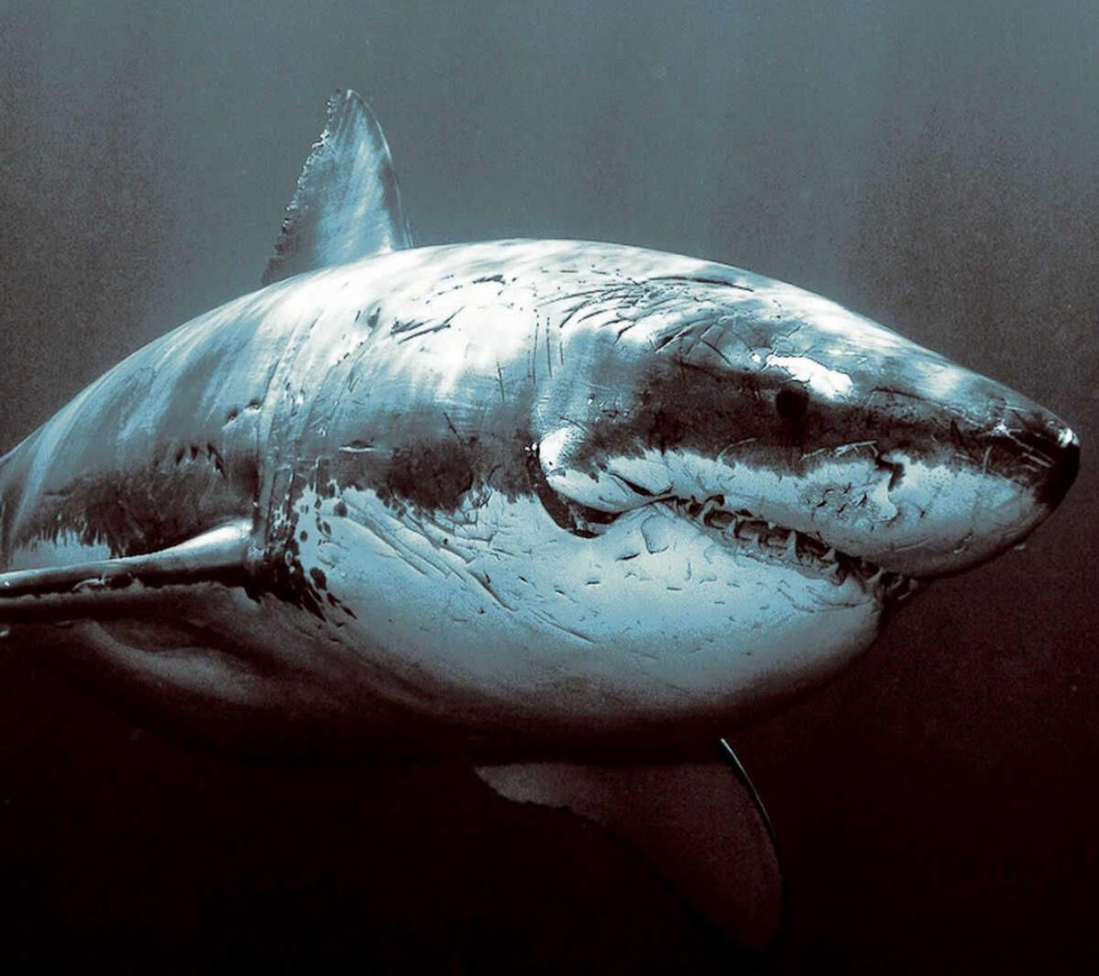 動物サメ Wallpaper Sc スマホ壁紙