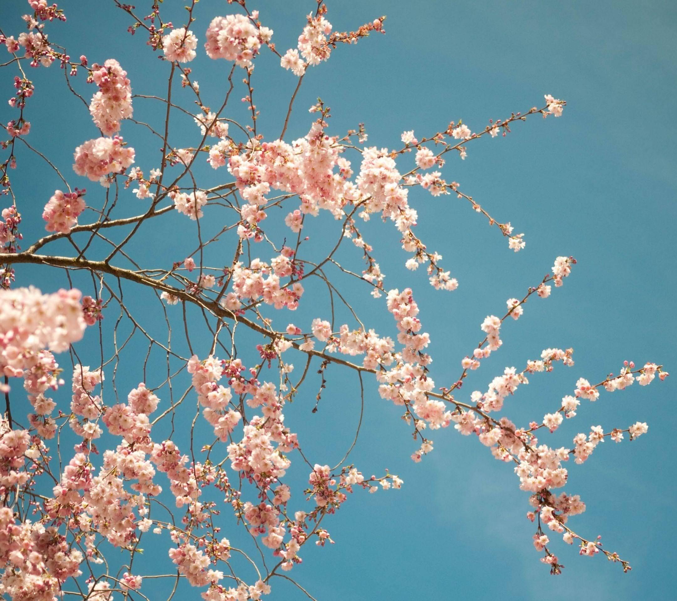 花桜春桃 Wallpaper Sc スマホ壁紙