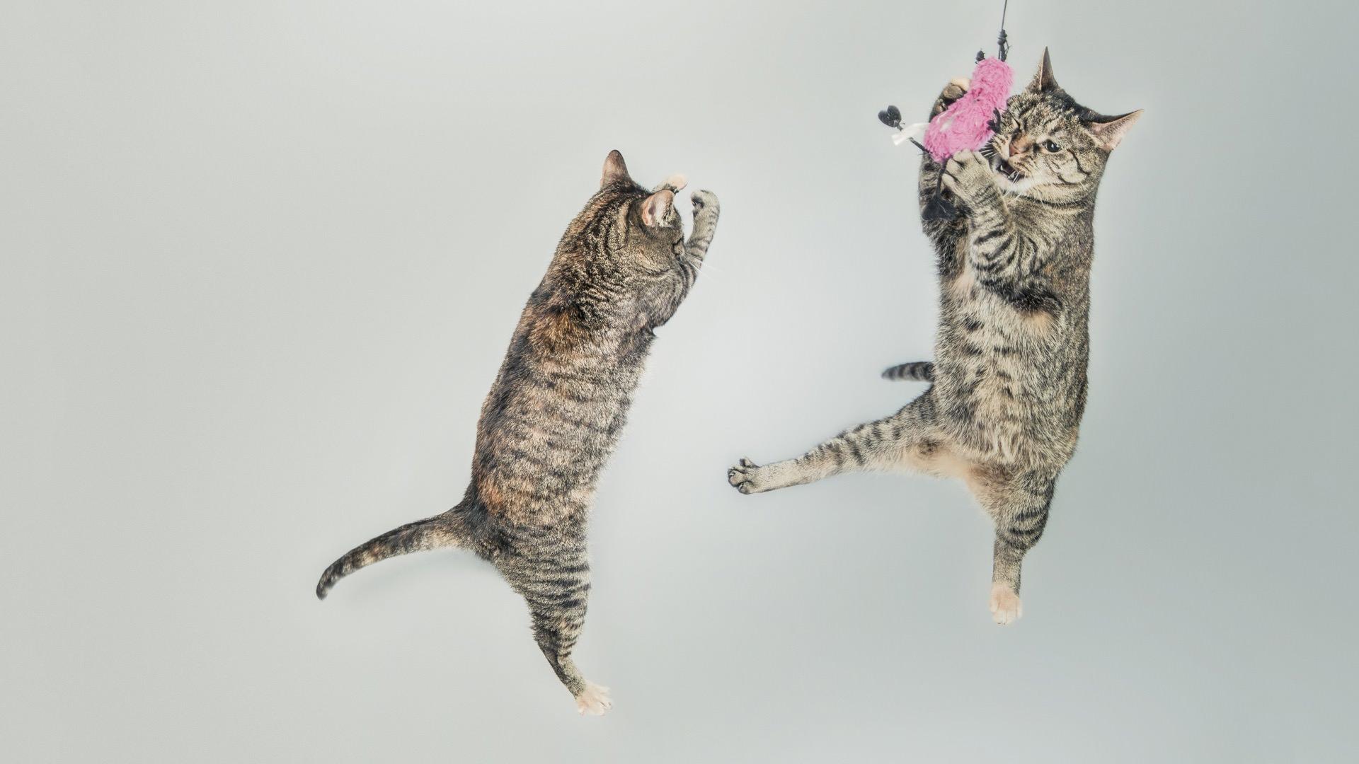動物猫ジャンプ Wallpaper Sc Desktop