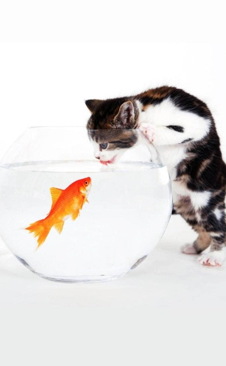 Cat Goldfish Wallpaper Sc Iphone4s