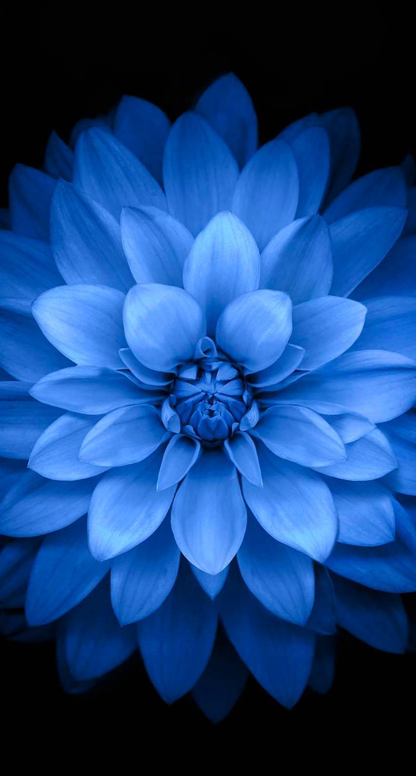 Bunga Hitam Biru Wallpapersc IPhone6s