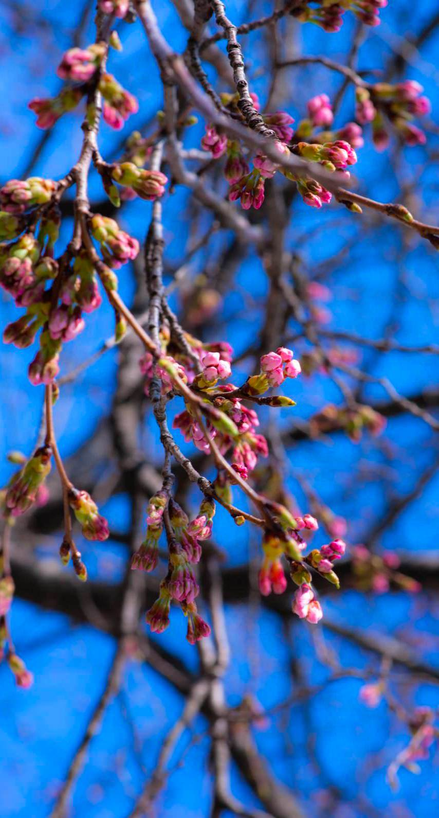 Landscape Flowers And Trees Blue Pink Wallpaper Sc Iphone6s