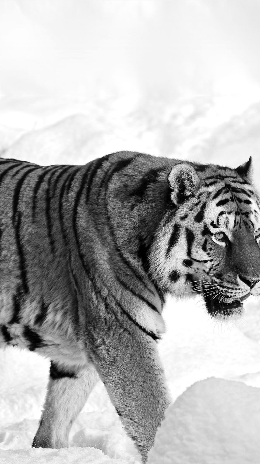 Black Tiger Wallpaper For Iphone 6 The Galleries Of Hd Wallpaper