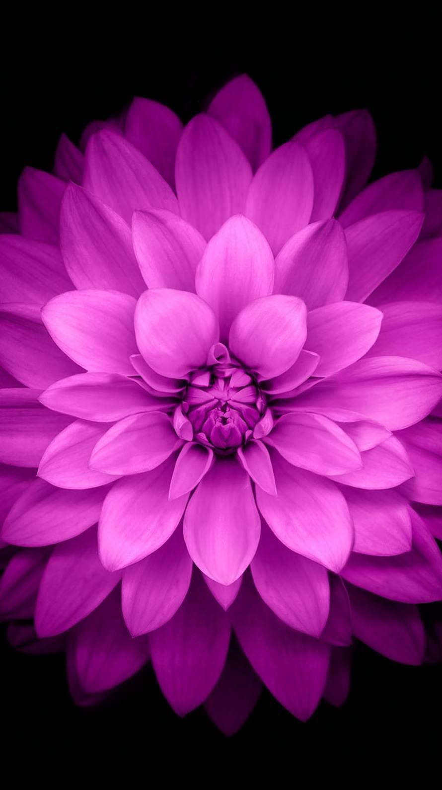 Ablackflowerflowerspurple Iphone 6s 6 Wallpaper