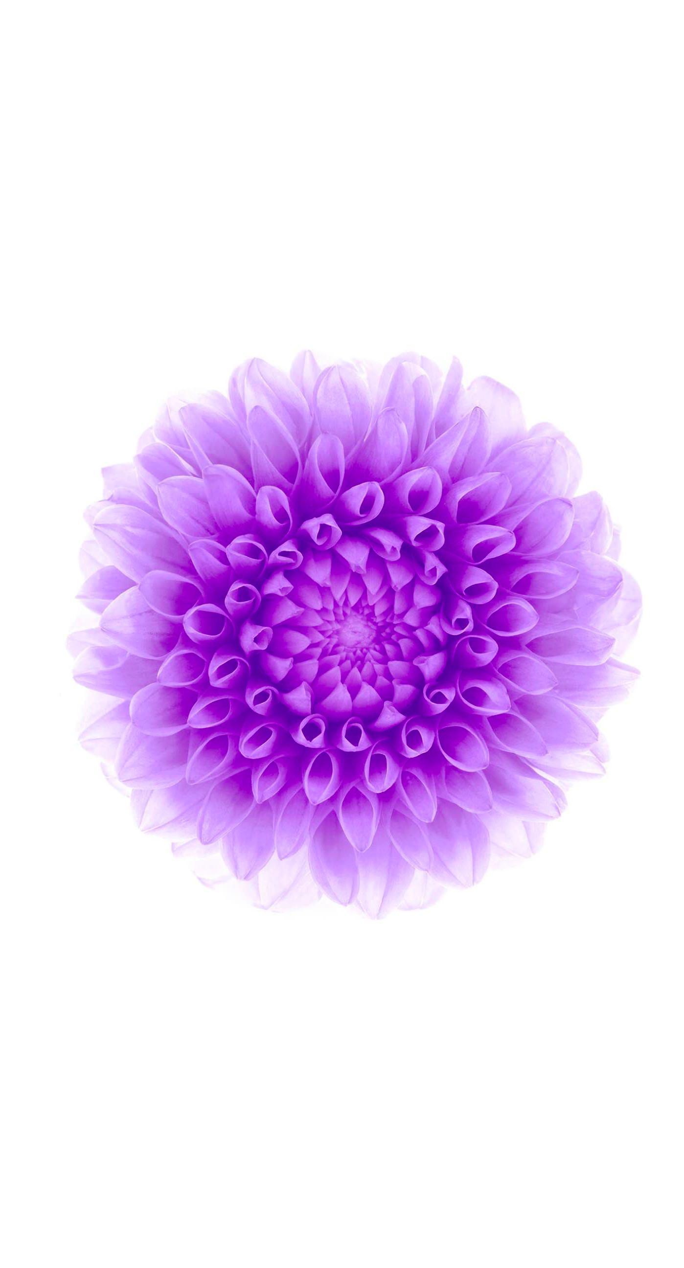 Flower purple white iphone6splus for Purple and white wallpaper