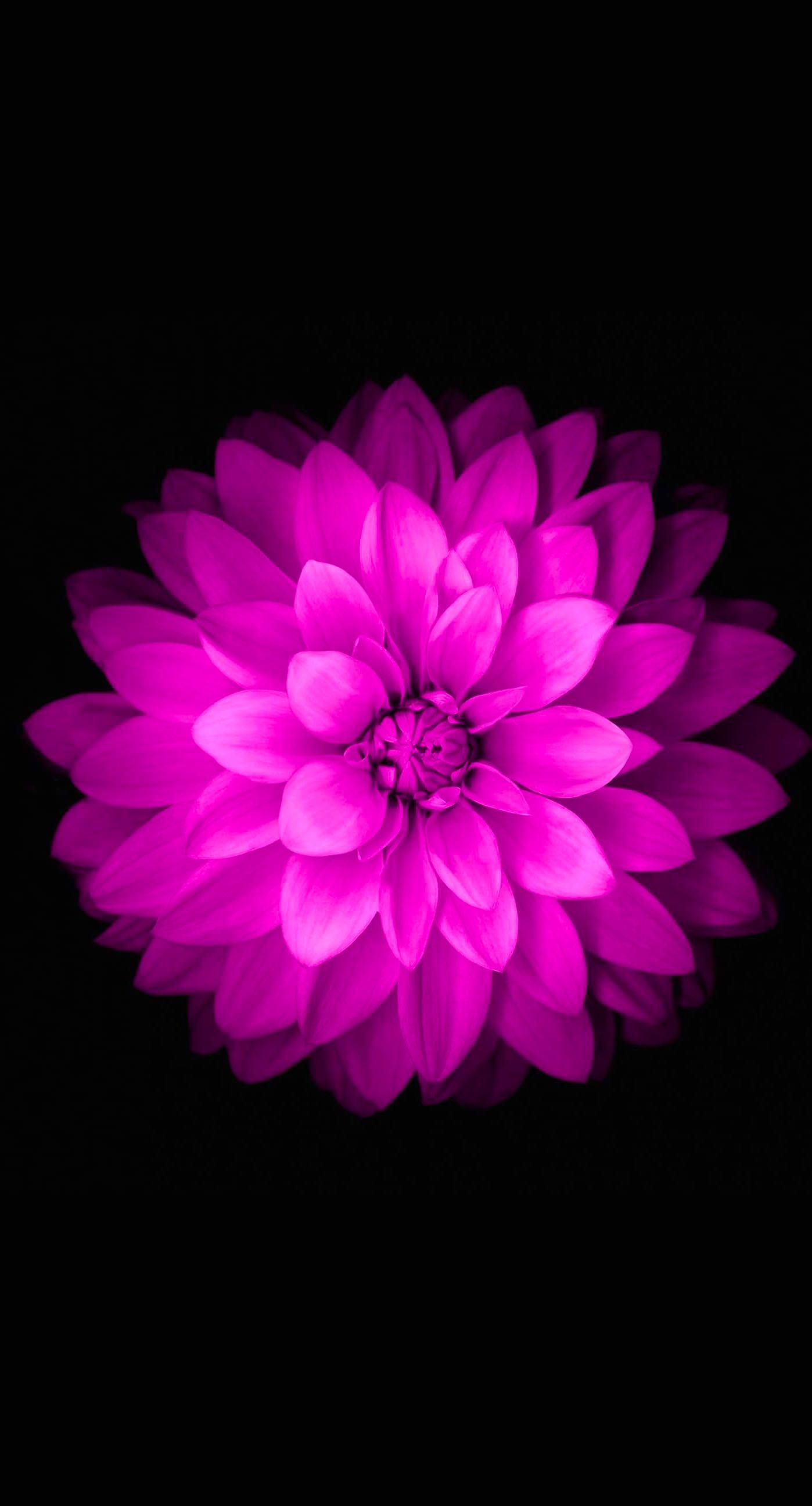 Flowers Purple Black Wallpaper Sc Iphone6splus