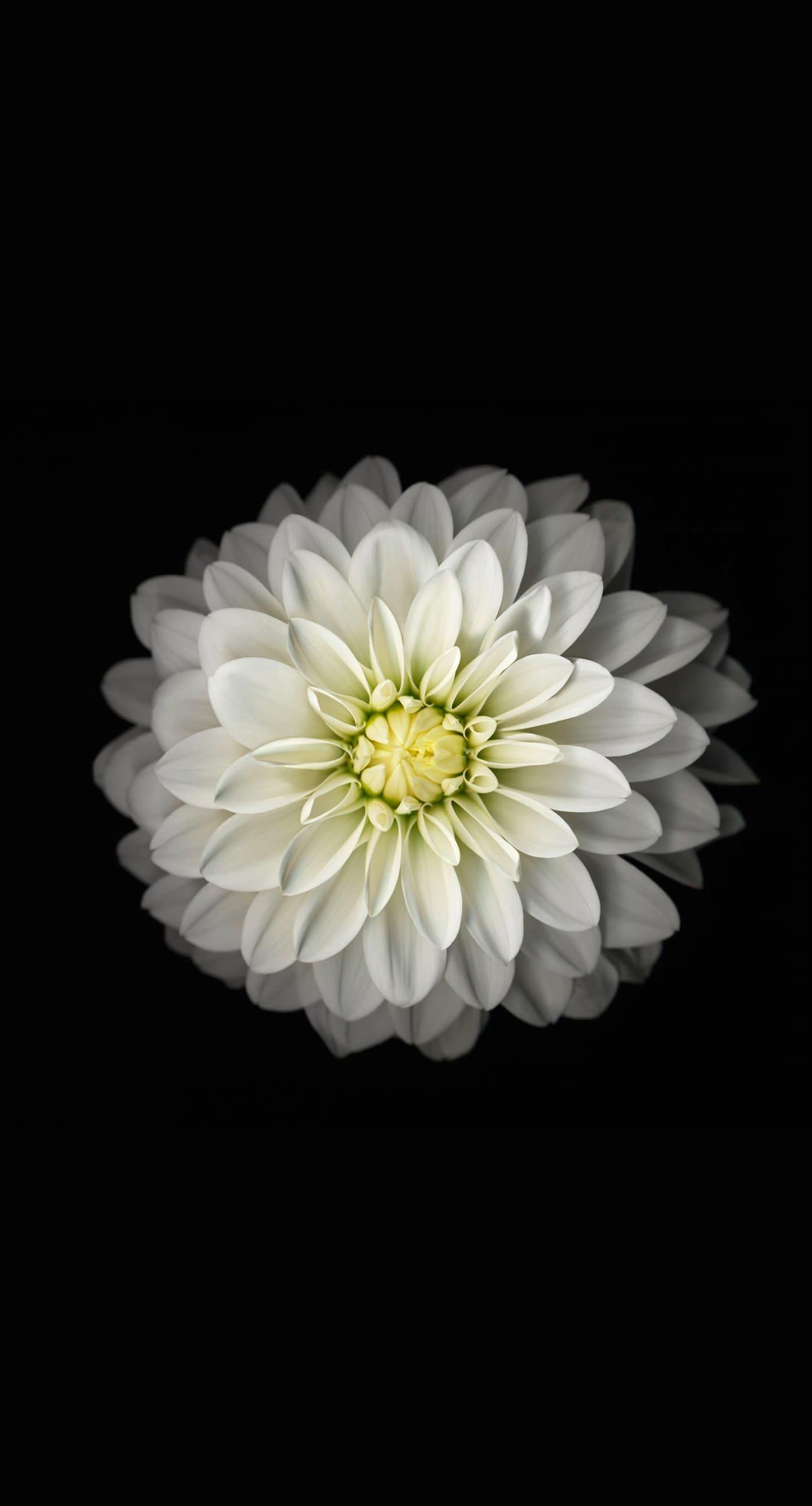 Bunga Hitam Putih Wallpaper Sc Iphone6splus