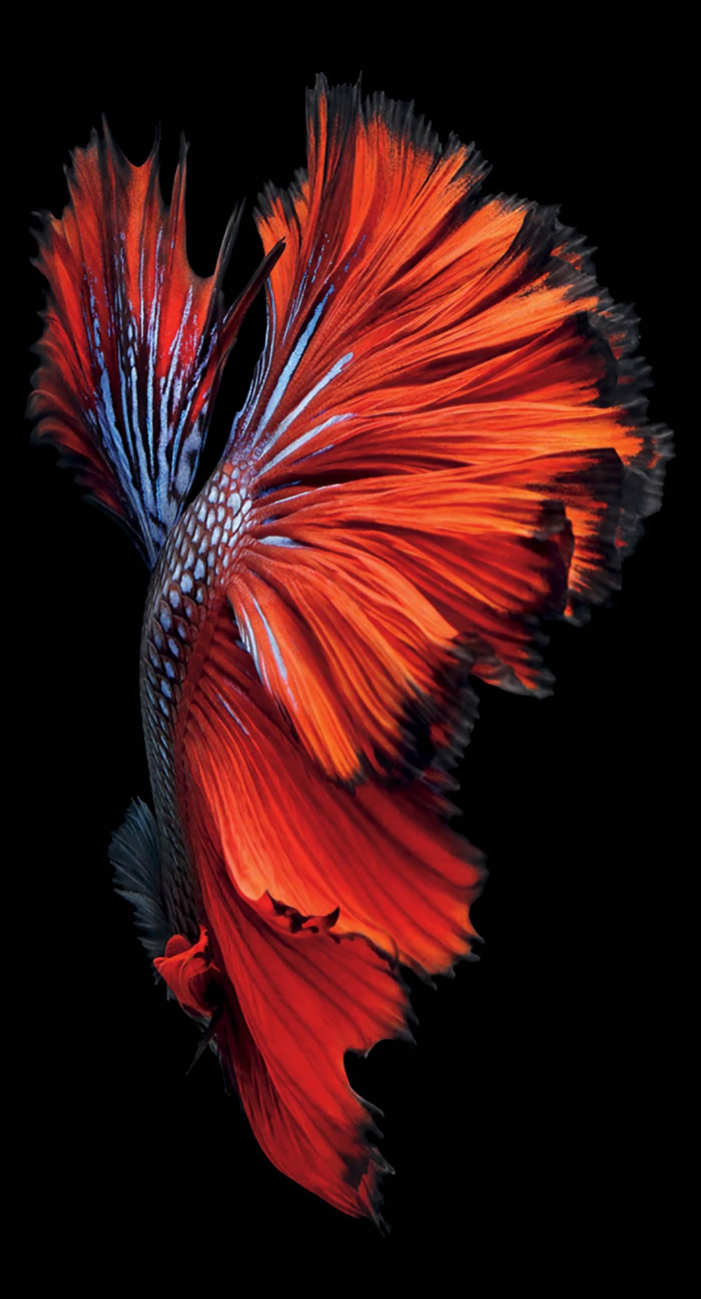 b4283d496a5 Black Red Fish iPhone6sPlus Cool | wallpaper.sc iPhone6sPlus