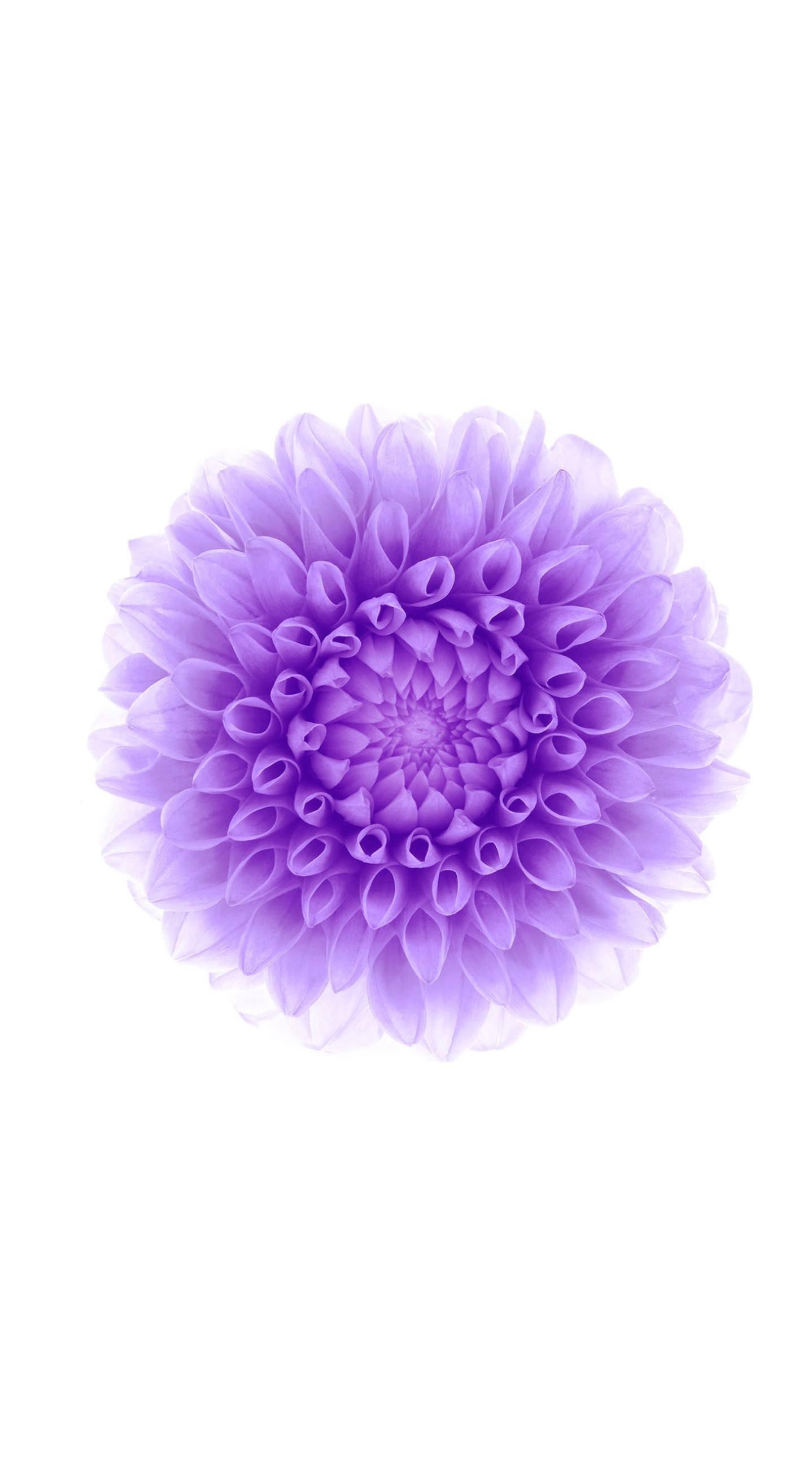 Flower Purple White Wallpaper Sc Iphone6splus