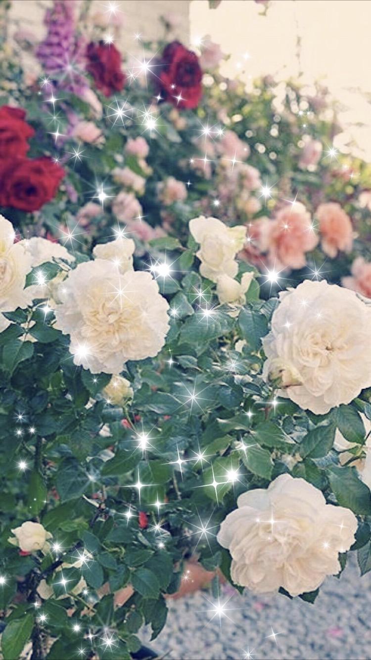 Rose Flower Garden Wallpaper Sc Iphone7