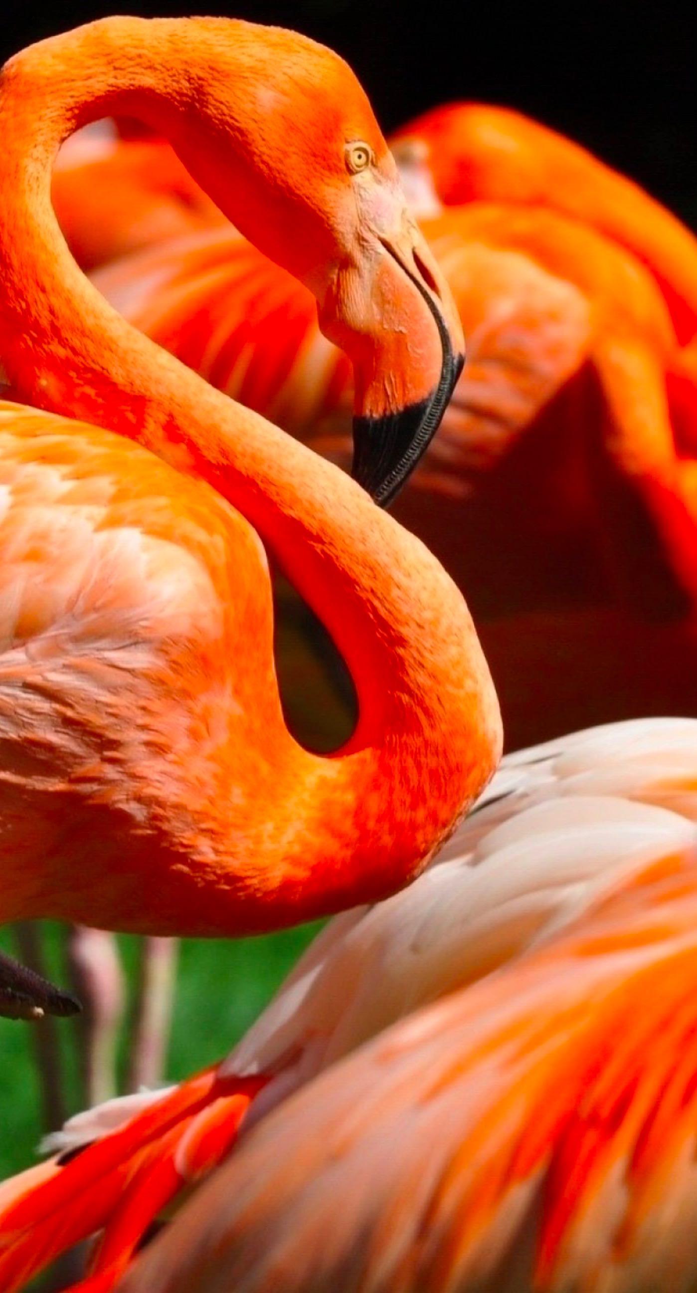 Animal Flamingo Wallpaper Sc Iphone7plus