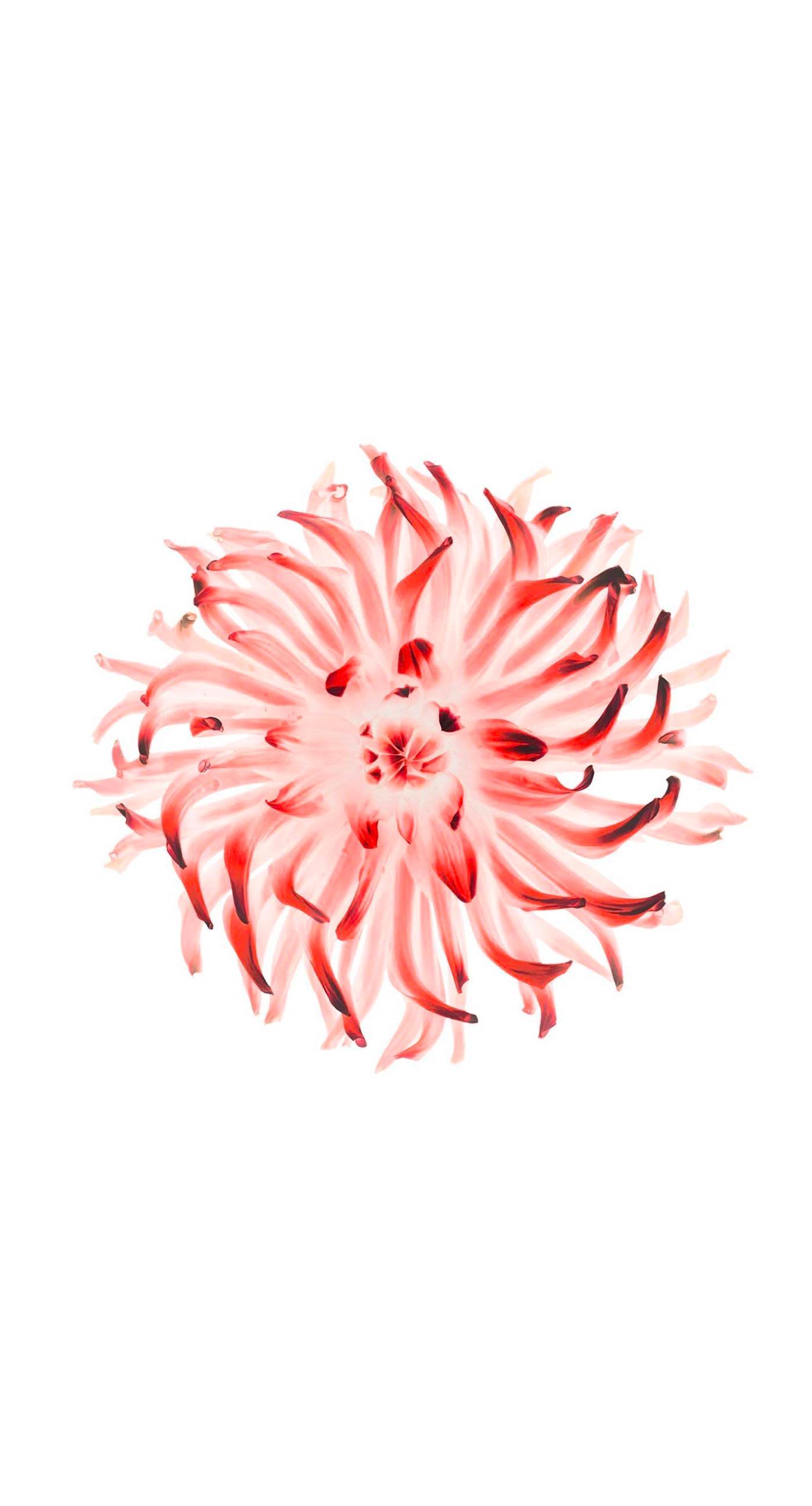 Flower Red White Wallpaper Sc Iphone7plus