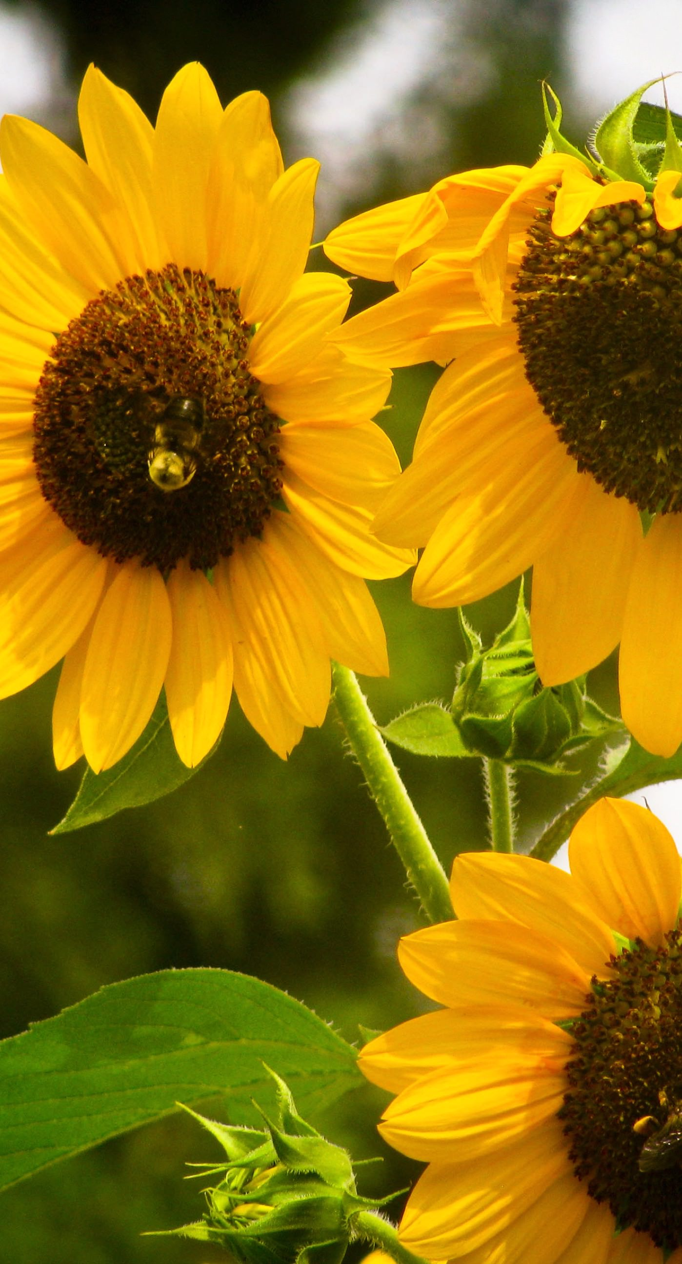 Wallpaper iphone kuning - Sunflower Yellow Iphone7 Plus Wallpaper