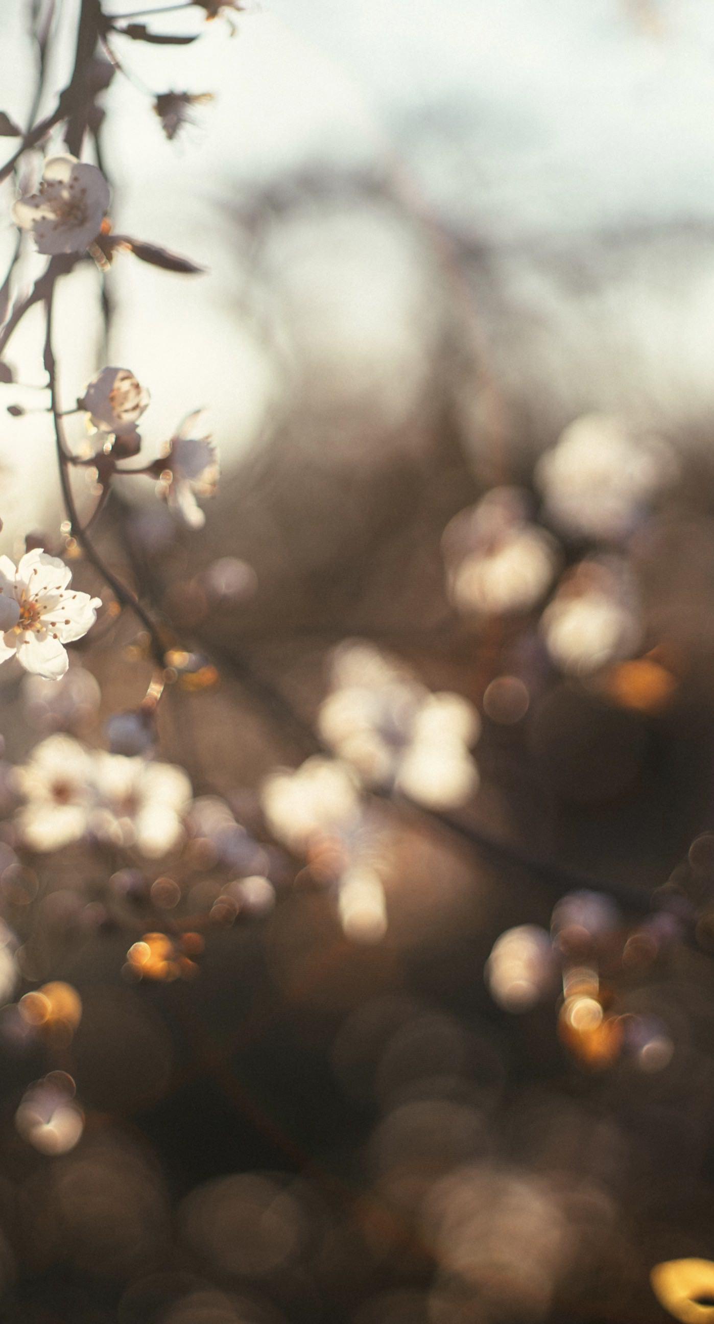 Pemandangan Bunga Sakura Wallpapersc IPhone7Plus