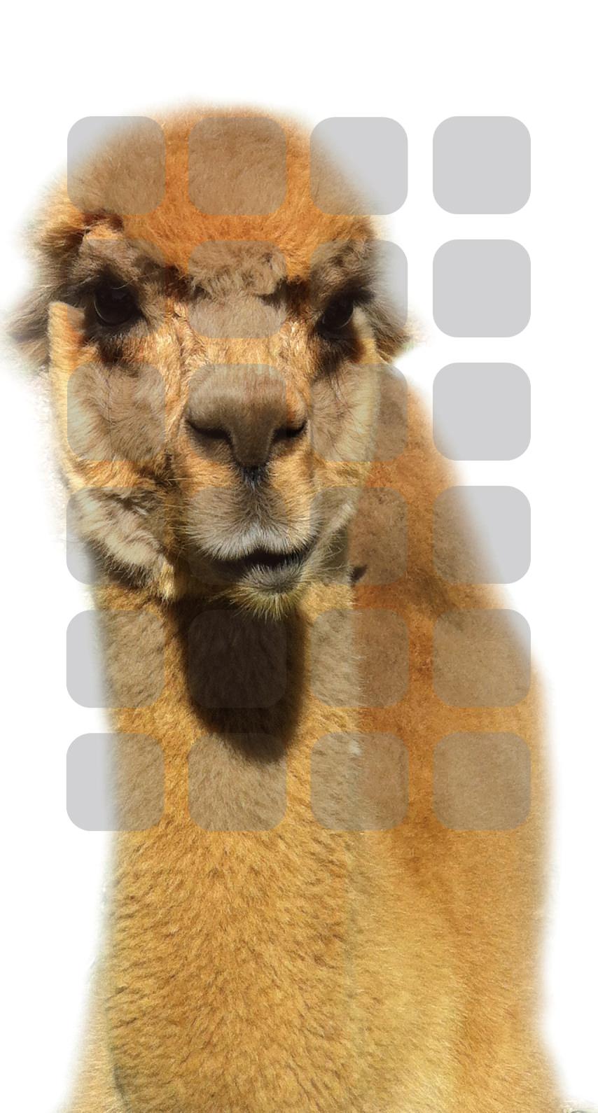 Estantería De Alpaca Animal Wallpapersc Iphone8