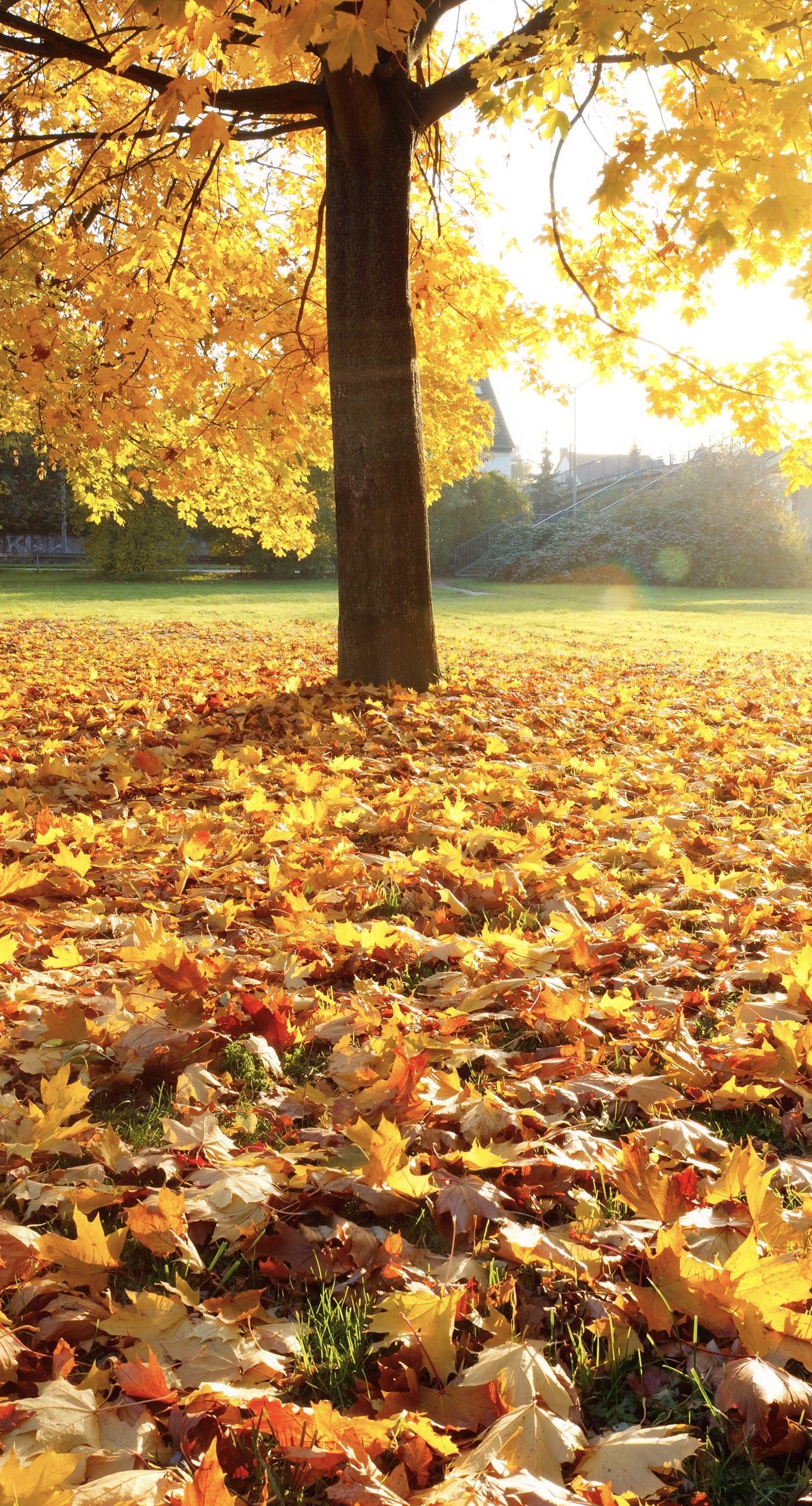 pemandangan pohon kuning  wallpaper.sc iPhone8Plus