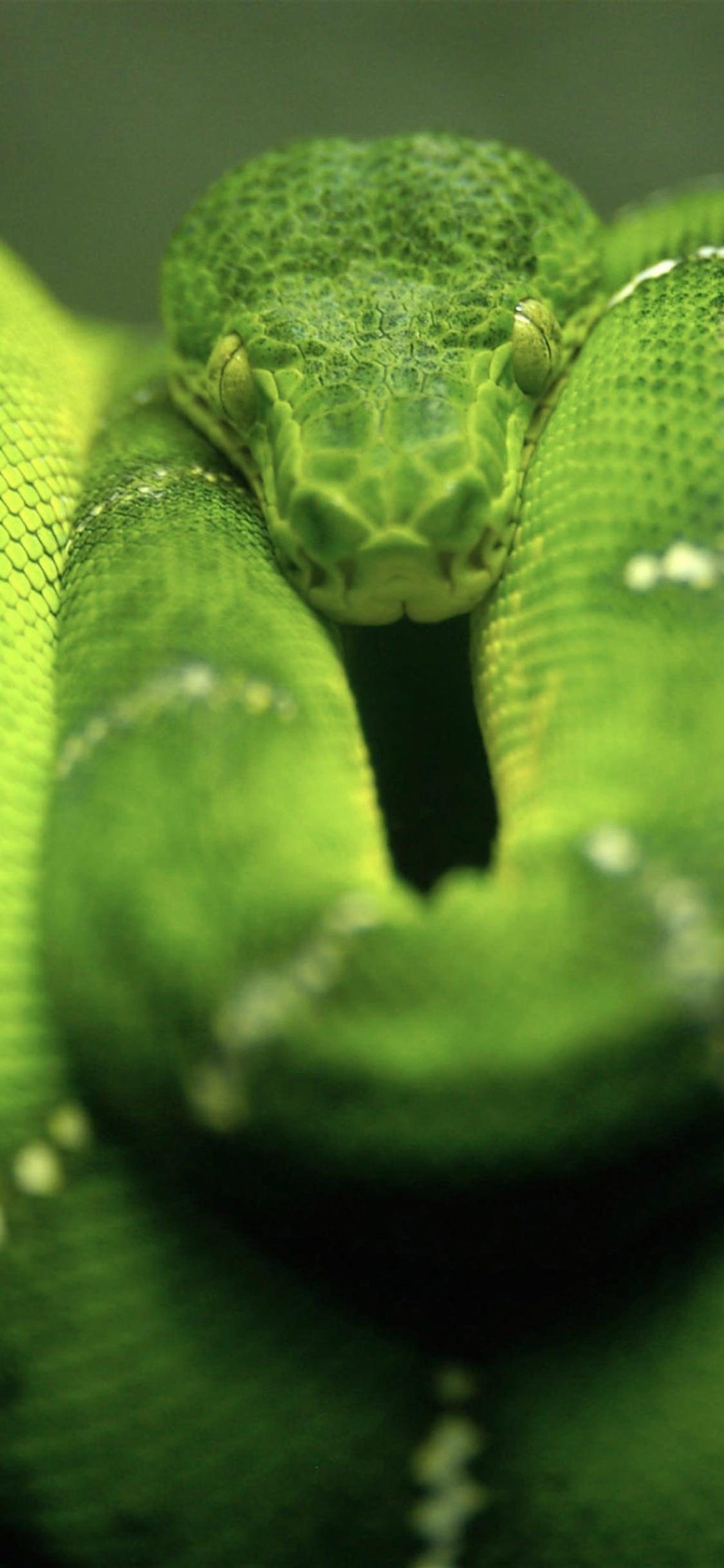Snake Wallpaper Iphone X Kadada Org