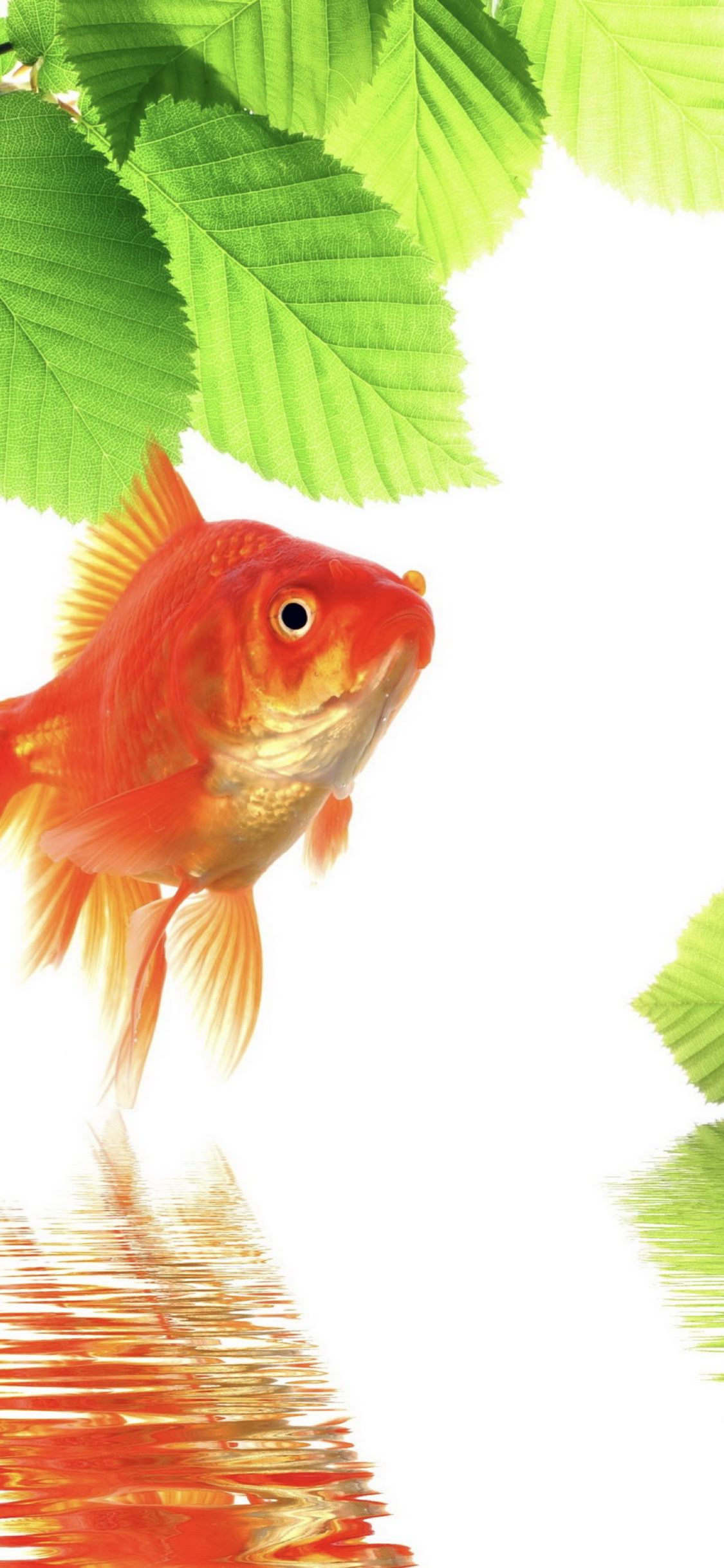 Goldfish Green Red Wallpaper Sc Iphonexs