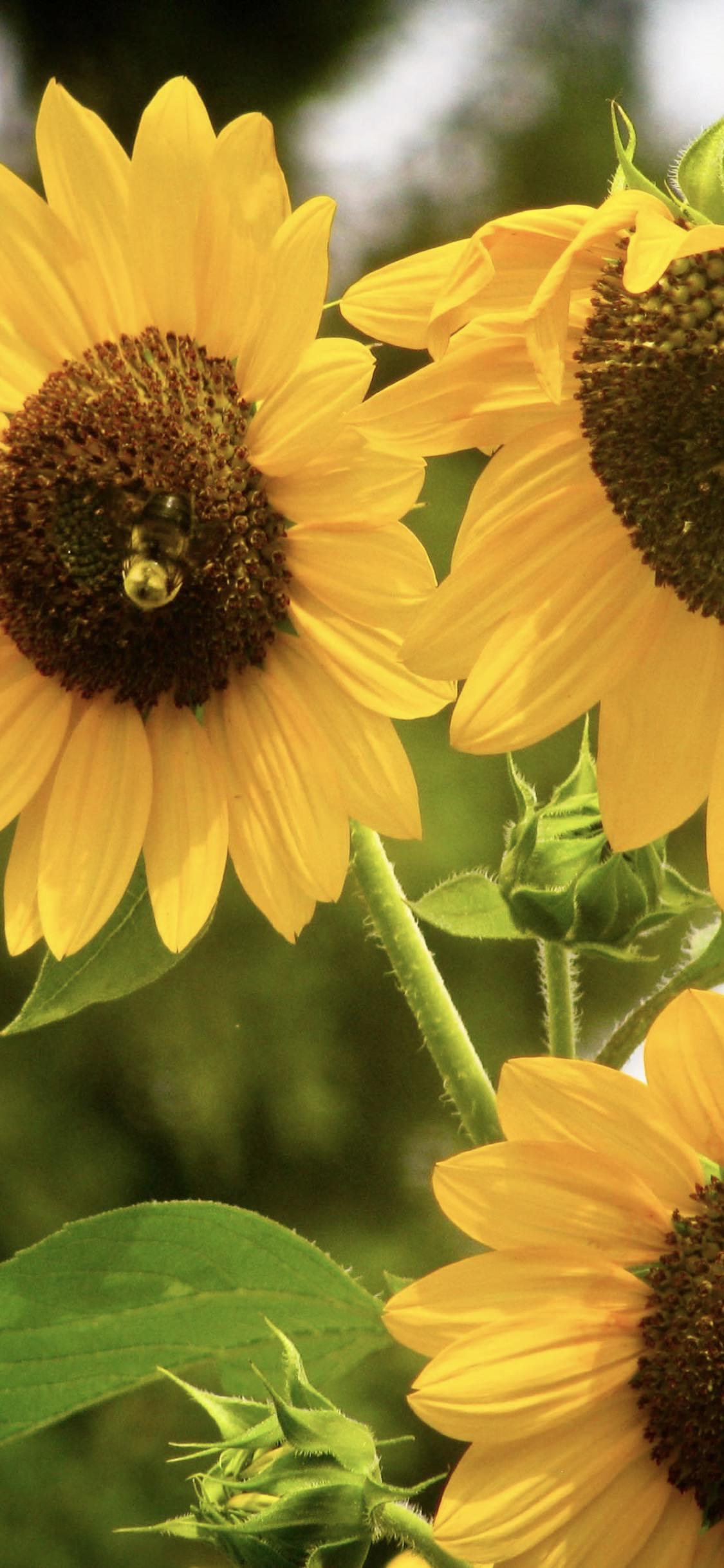 Sunflower Yellow Wallpaper Sc Iphonexs