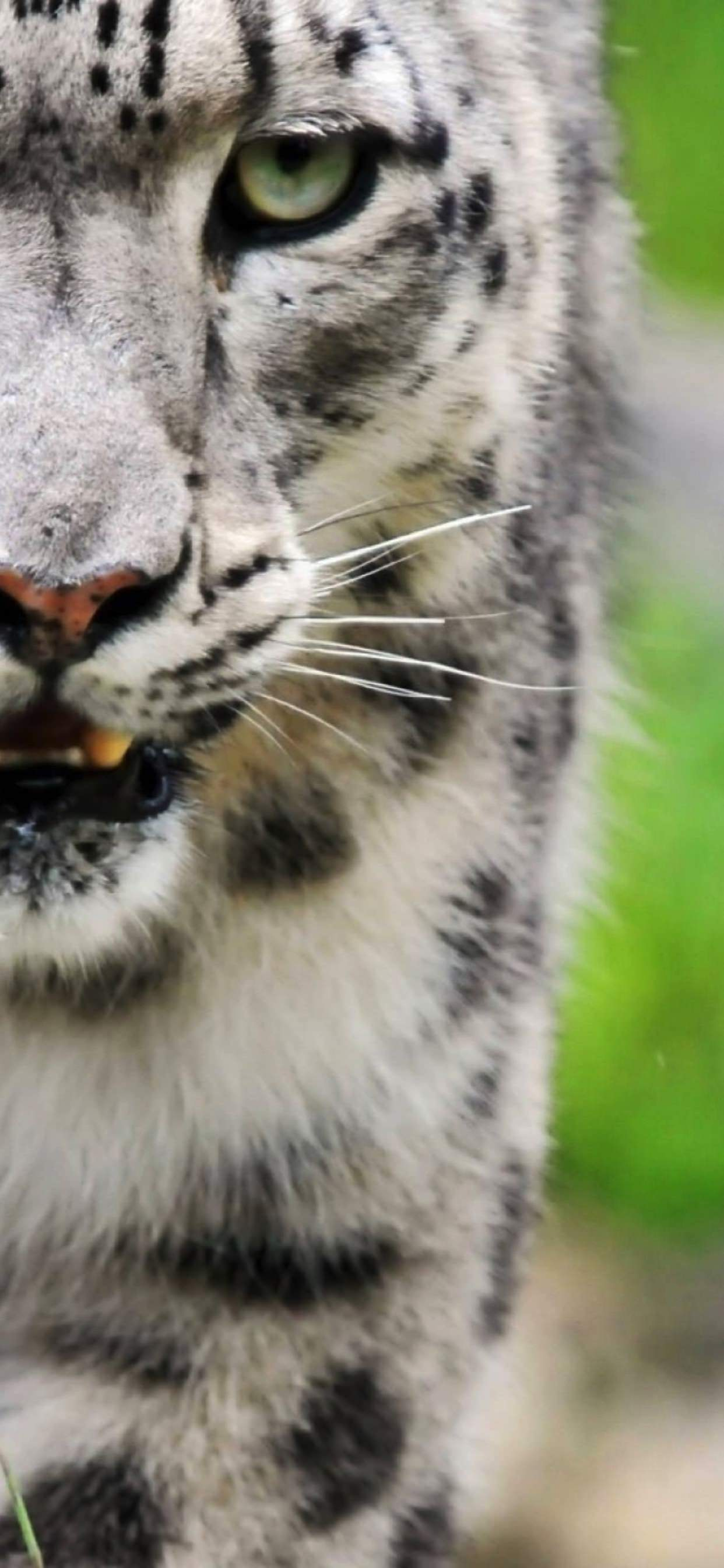 Animal White Tiger Wallpaper Sc Iphone Xs Max